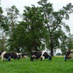 vacas_gases_efecto_invernadero_31082019