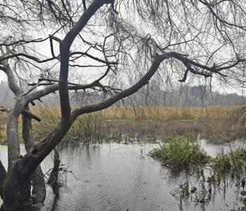 VALDIVIA: Organizaciones ambientalistas exigen que Humedal Angachilla sea declarado Santuario de la Naturaleza