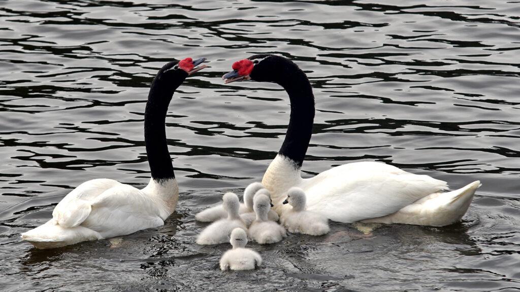 VALDIVIA: Distintos tipos de aves del humedal Angachilla